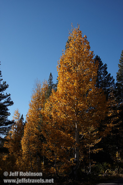 Yellow aspen against blue sky (10/22/2011, road to Woods Lake near Carson Pass of Highway 88, Fall Color Drive)