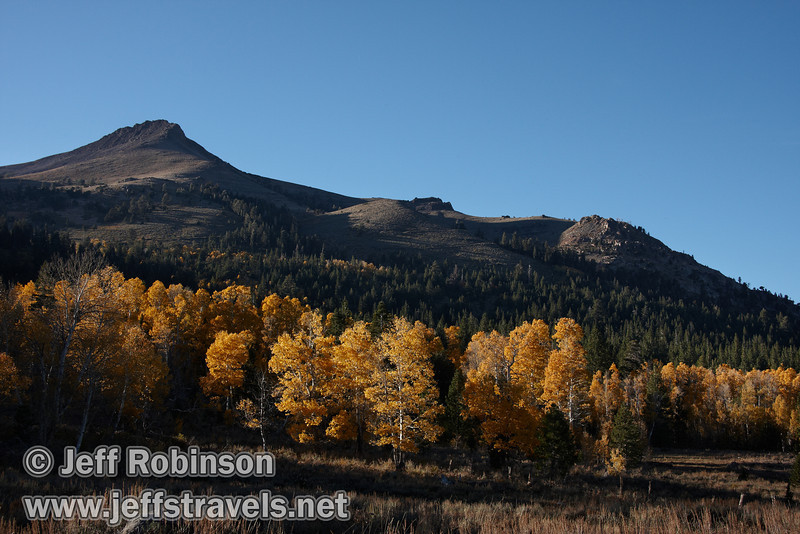 A grove of yellow aspen with a mountain behind (10/22/2011, north of highway 88 in Hope Valley, Fall Color Drive)