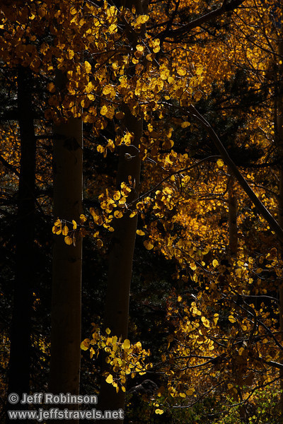 Backlit yellow aspen (10/22/2011, road to Woods Lake near Carson Pass of Highway 88, Fall Color Drive)