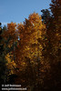 Backlit yellow aspen against blue sky. (10/22/2011, off highway 88 at the turnoff to Red Lake in Hope Valley below Carson Pass, Fall Color Drive)