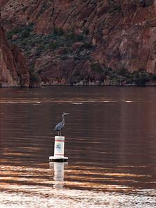Heron looking for dinner