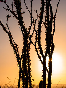 Ocotillo Stalks