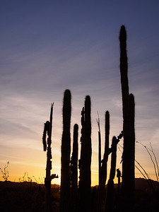 Organ Pipe Evening