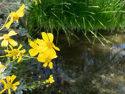Brittlebush & Pond