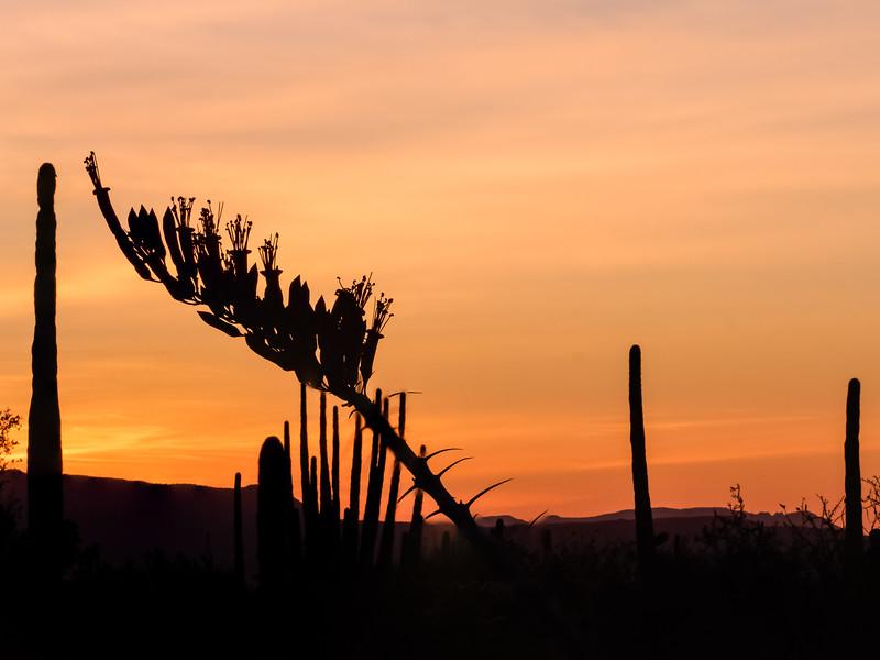 Ocotillo at Dawn