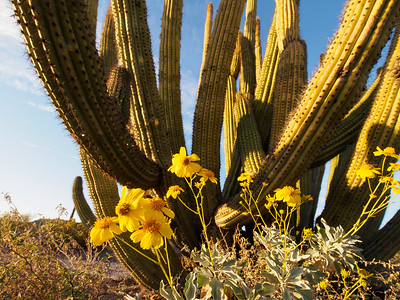 Brittlebush and Organ Pipe