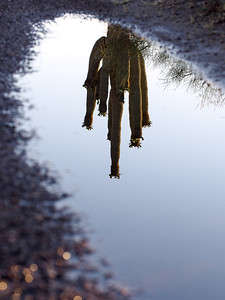 Reflected Saguaro