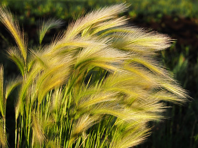 Feathered grasses