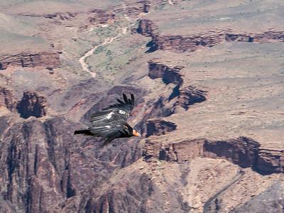 Condor # 55