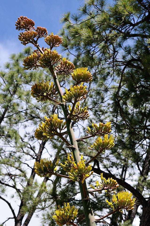 Century Plant Bloom
