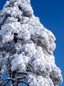 Needles of Snow