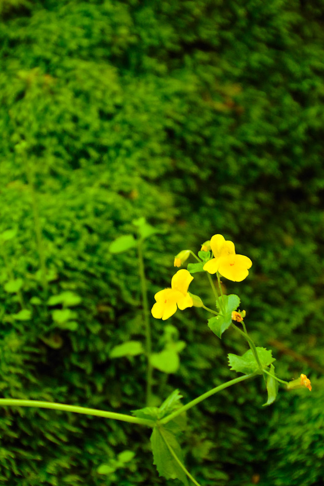 Moss and Monkeyflowers