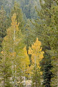 Aspens starting to turn