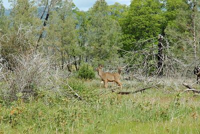 Two headed deer