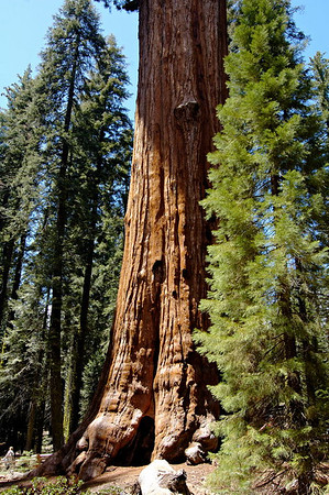 The General Sherman Tree - the largest living thing on Earth