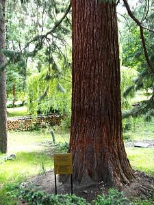 Sequoia at the Boyana Church