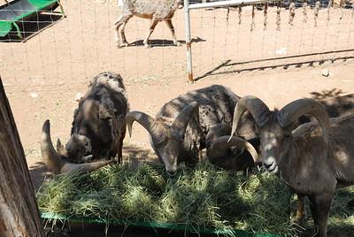 Hungry Bighorns