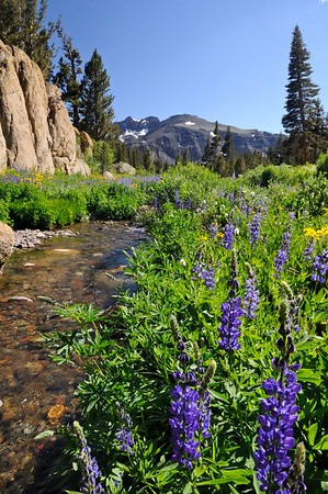 Lupine along Deadman Creek