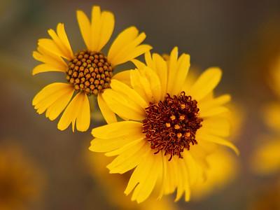 Brittlebush Blooms