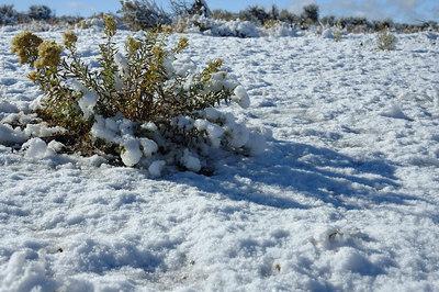 Snow on the bush