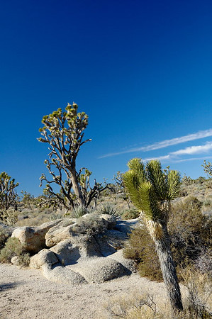 Joshua Trees on Cima Dome
