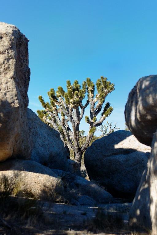A mature joshua among a boulder field