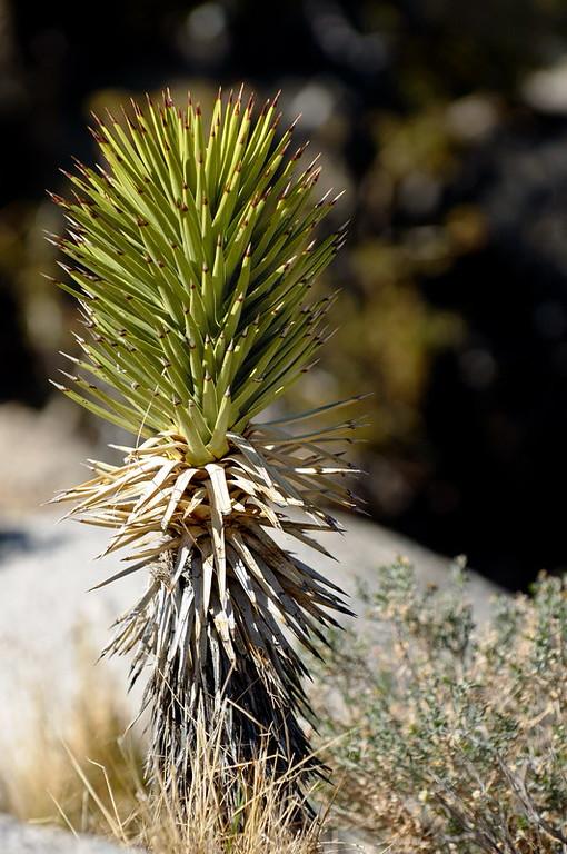 A young joshua tree