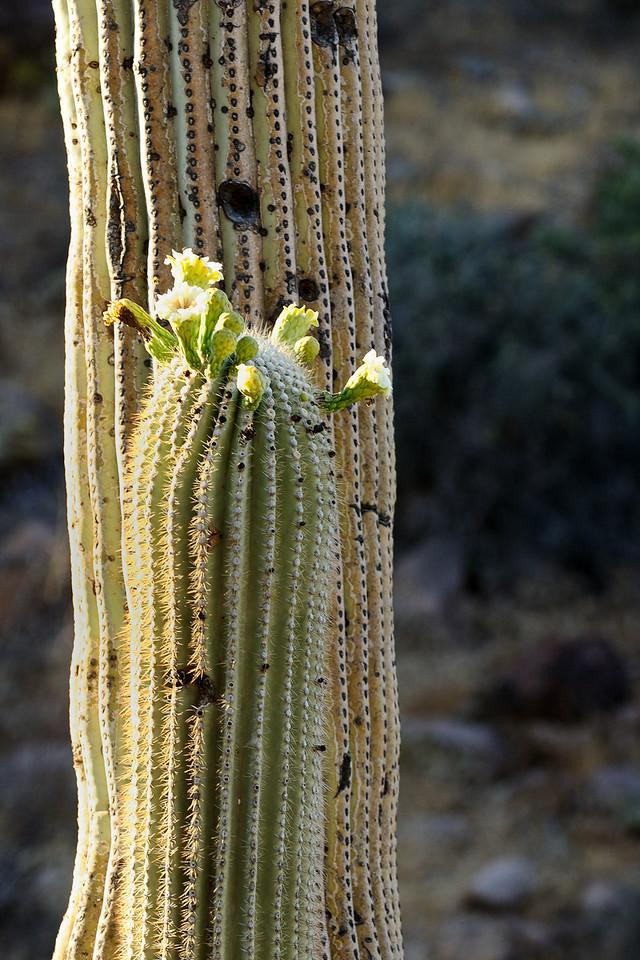 Blooming Saguaros in Peralta Canyon