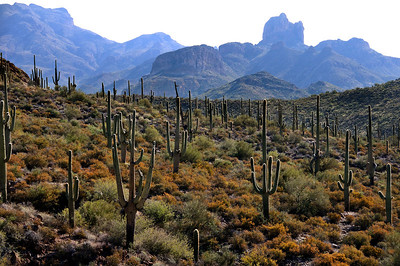 Saguaro's and Buttes