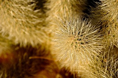 Cholla Close-up