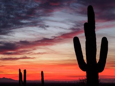 Saguaros at last light