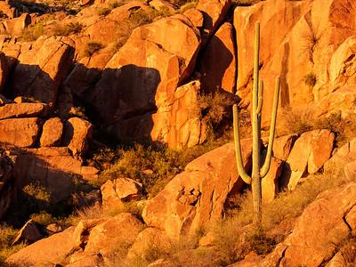 Basking Saguaro