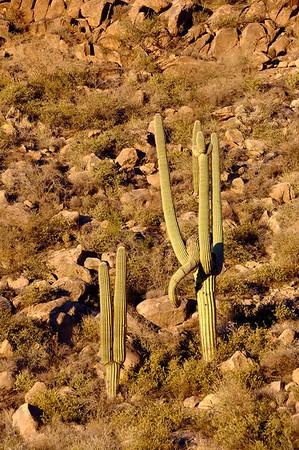 """""""Elephant"""" cactus"""