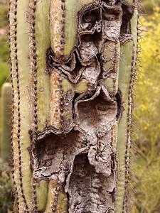 Melting Saguaro