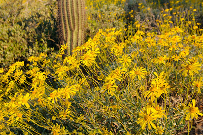 Brittlebush and Saguaro