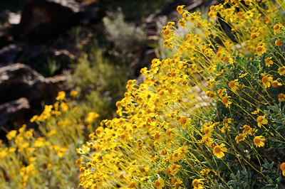Brittlebush near Canyon Lake