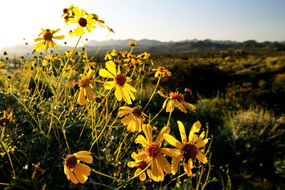 Backlit Brittlebush