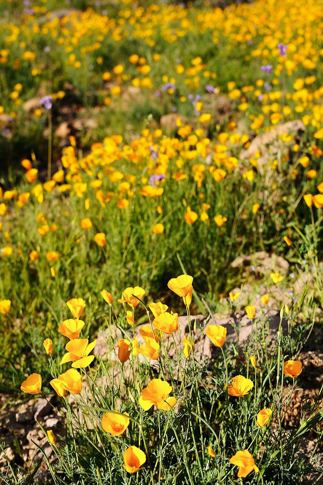 Mexican Poppies near Canyon Lake