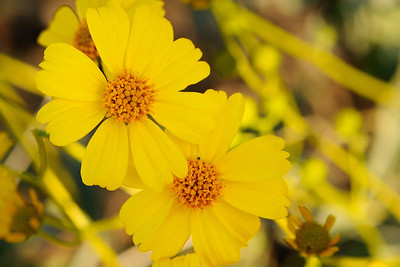 Brittlebush in Hewitt Canyon