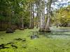 Backwater Cypress