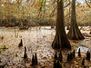 Cypress Knees