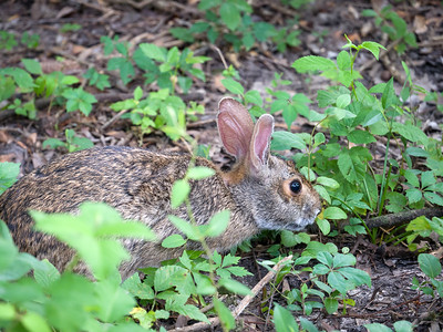 Rabbit at the Arboretum