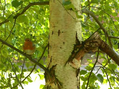 Robin in Northernhay Gardens