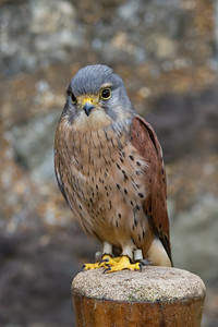 kestrel (Raphael historic falconry)