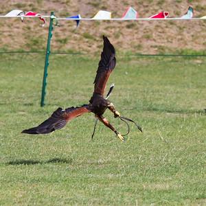 Harris Hawk  (Raphael historic falconry)