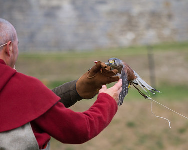 kestrel landing on the Glove  (Raphael historic falconry)
