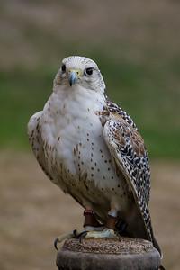 Gerfalcon, Arctic Falcon (Raphael historic falconry)