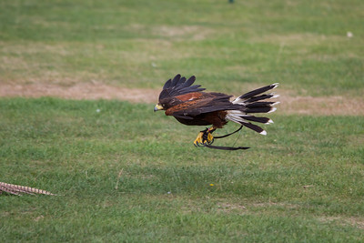 Harris Hawk Catching Pray (Raphael historic falconry)