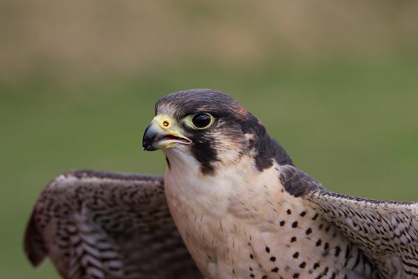 Peregrine Falcon  (Raphael historic falconry)