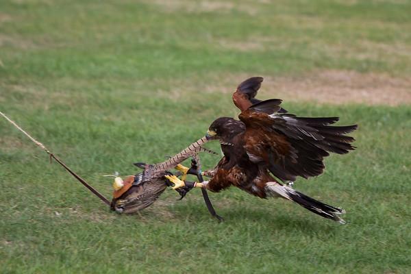 Harris Hawk Catching Pray (Raphael historic falconry)